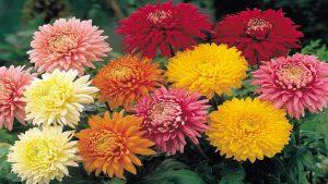crizantema-regina-florilor